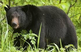 mơ thấy gấu