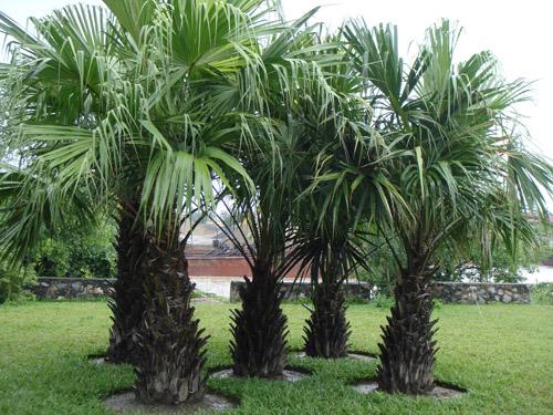 mơ thấy cây dừa