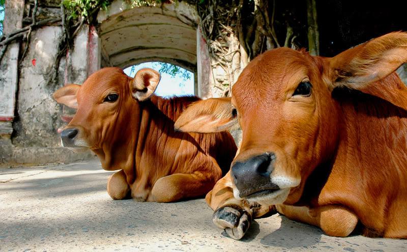 mơ thấy bò đánh con gì