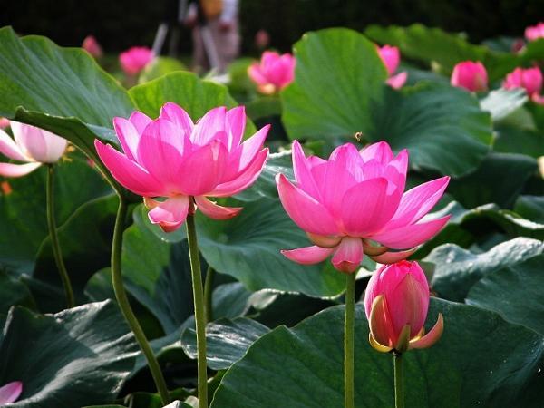 Hoa phong thủy mang may mắn: Hoa sen