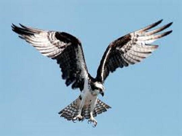 Mơ thấy chim ưng có điềm báo gì? đánh con số nào?