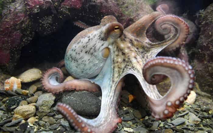 Mơ thấy bạch tuộc điềm báo gì